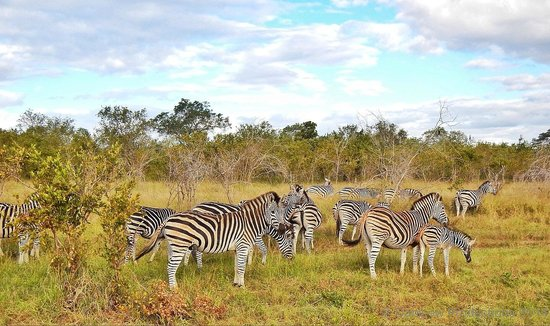 Tydon Safari Camp : Zebra at Sabi Sands