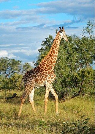 Tydon Safari Camp : Giraffe at Sabi Sands