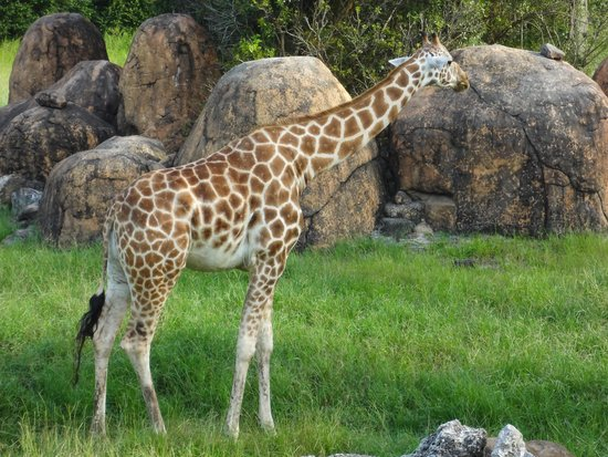 Jacksonville Zoo & Gardens: can see the giraffe up close