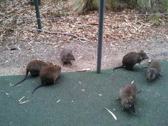 Cleland Wildlife Park: 고양이 만한 쥐들이 공원안에 돌아다니고 있었다.