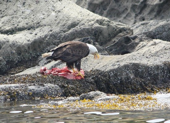 Outer Island Expeditions : Bald Eagle eating