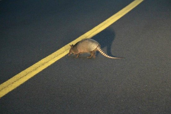 Manatee Springs State Park: Saw a live armadillo