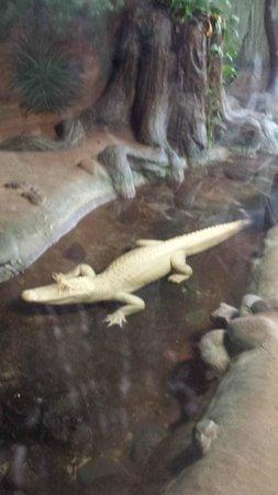 Wildlife World Zoo and Aquarium: Albino Alligator