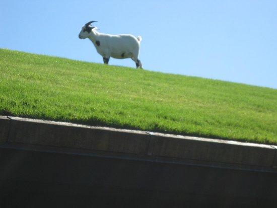 Al Johnson's Swedish Restaurant & Butik : Goats on the roof