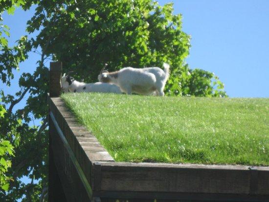 Al Johnson's Swedish Restaurant & Butik : More goats on the roof