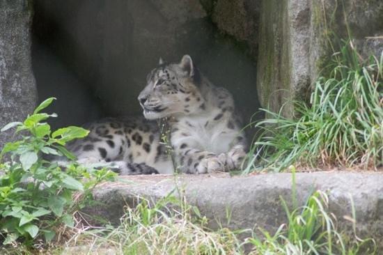Woodland Park Zoo : Snow Leopard