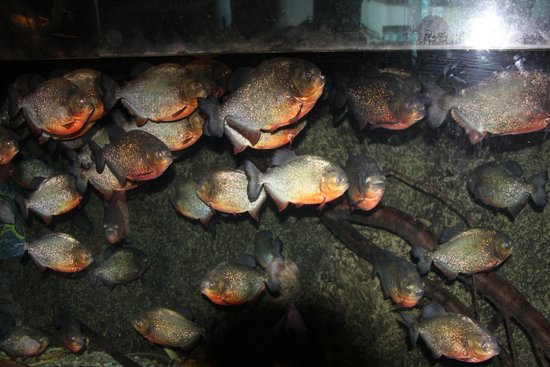 Ripley's Aquarium of the Smokies: Piranha Tank