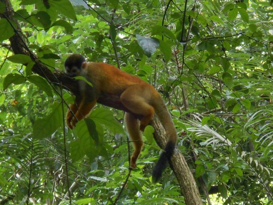Corcovado National Park: Lazy monkey!