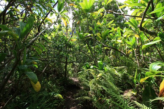 Iao Valley State Monument: Iao Valley Ridge Trail- the trail itself in one of its more tropical sections.
