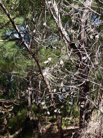 Great Keppel Island Hideaway : butterflys on the bush walk to Long beach