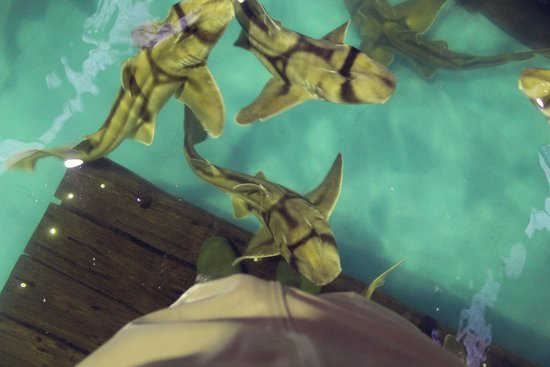 The Australian Shark & Ray Centre: Port Jackson sharks