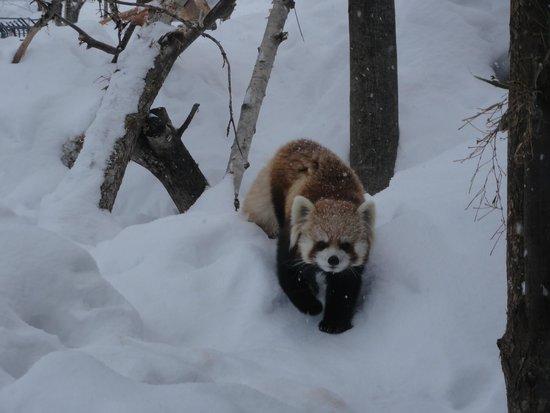 Maruyama Zoo: 円山動物園 レッサ-パン2013年12月