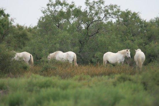 Le Parc Ornithologique de Pont de Gau : 白馬もいました。