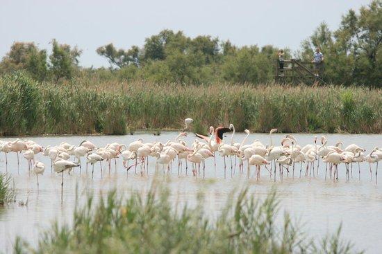 Le Parc Ornithologique de Pont de Gau : フラミンゴ!