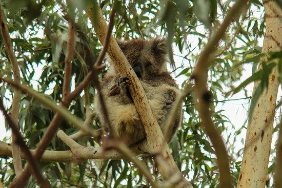 koala picture of kennet river koala walk kennett river. Black Bedroom Furniture Sets. Home Design Ideas