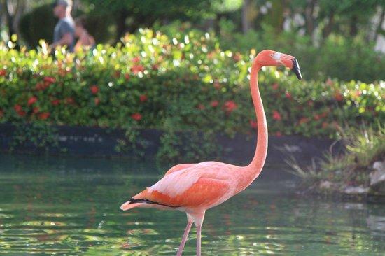 Catalonia Bavaro Beach, Casino & Golf Resort: Фламинго