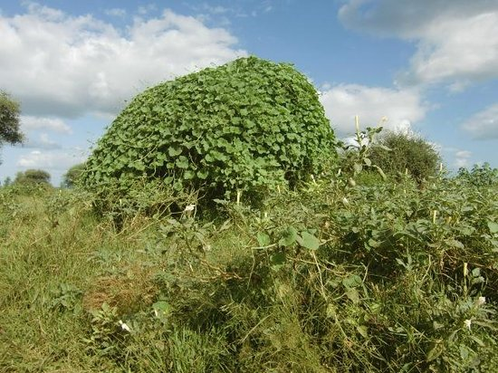 Punda Maria Restcamp: Boom bedekt met klimplant in het noorden van het Kruger Park, maart 2014