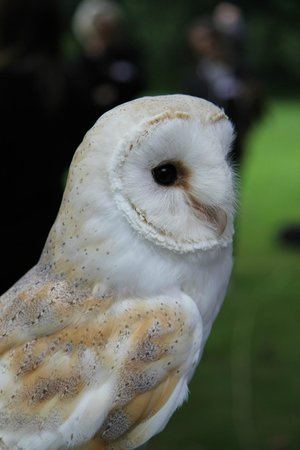 Ray Prior Falconry: 'Pickford' the Barn Owl