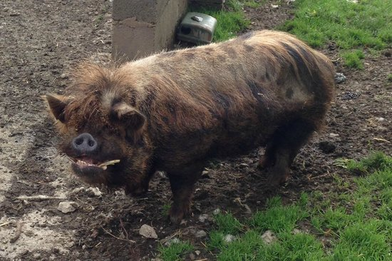 Dale House Farm: The happy, devastatingly handsome, pedigree Boar!