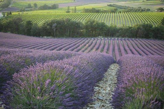 Le Mas du Haut-Roussillac : Lavender fields