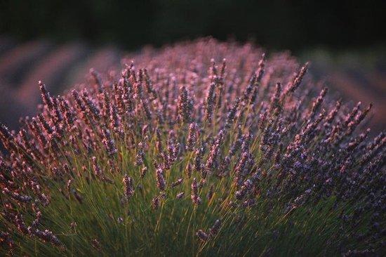 Le Mas du Haut-Roussillac : Lavender