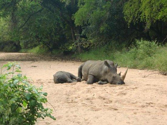 Stone Camp in Mkhaya Game Reserve: Pal naast het restaurantterras lagen deze neushoorns te slapen! april 2014