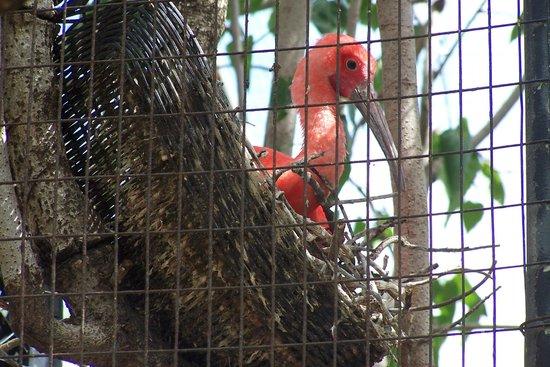 St. Maarten Zoo: Ibis in nest