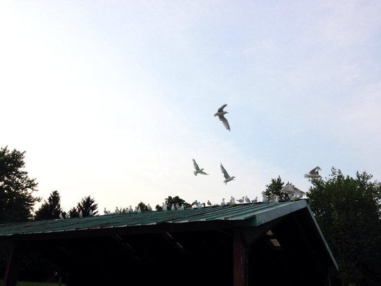 Wildwood Conservation Area: Seagull roof