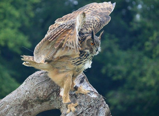 National Centre for Birds of Prey: Eagle Owl