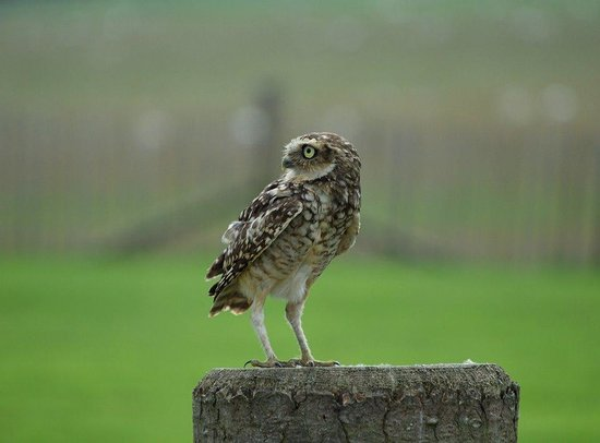 National Centre for Birds of Prey: Burrowing Owl