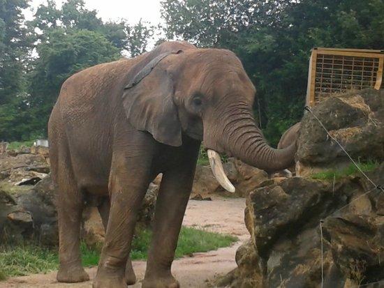 Un l phant d 39 afrique qui trompe norm ment il mange for Parc zoologique 78
