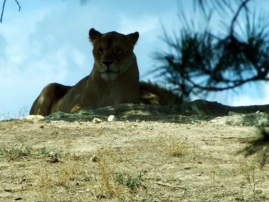 Reserve Africaine de Sigean : Löwenfamilie