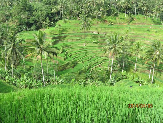 Tegalalang Rice Terrace : ライステラス
