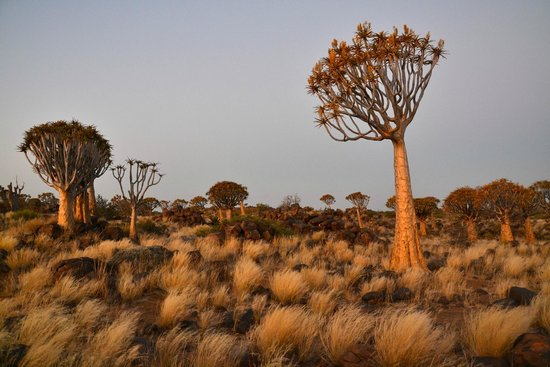 Quivertree Forest Rest Camp : Kokerboomwoud