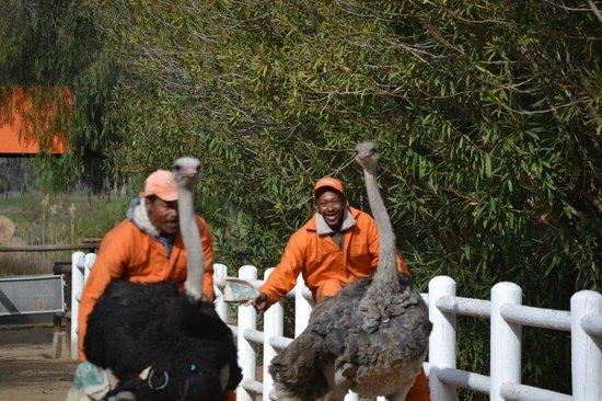 Safari Ostrich Show Farm: The big race!!