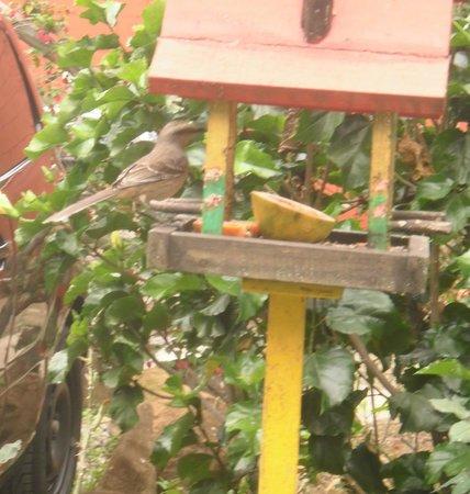 Pousada Canteiros: Sabiá e outros pássaros fazem desjejum na pousada