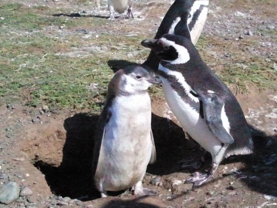 Shenu Patagonia: Penguins from the nearby penguin island tour