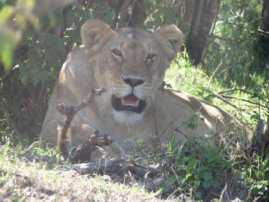 Fig Tree Camp : Safari photo masaï mara