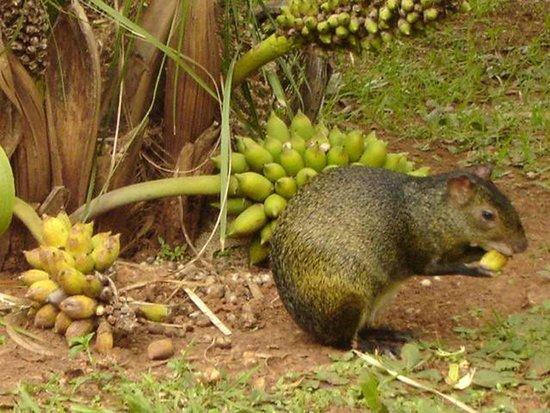Estancia Mimosa Ecoturismo: Cotias  pelo caminho