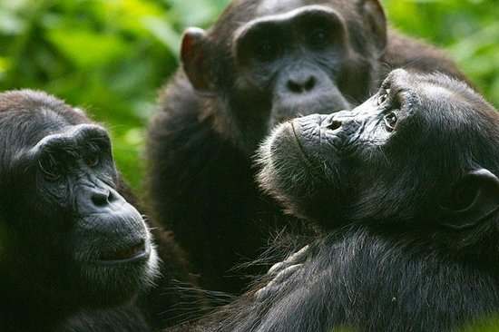 Fort Portal, Uganda: A troop of chimps in Kibale Forest National Park, Uganda. Image by Stuart Butler