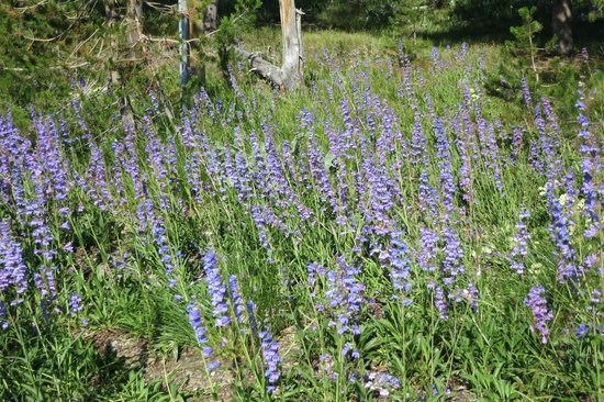 Colter Bay Village: Wildflowers are everywhere