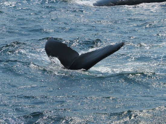 Hyannis Whale Watcher Cruises : Tails up!