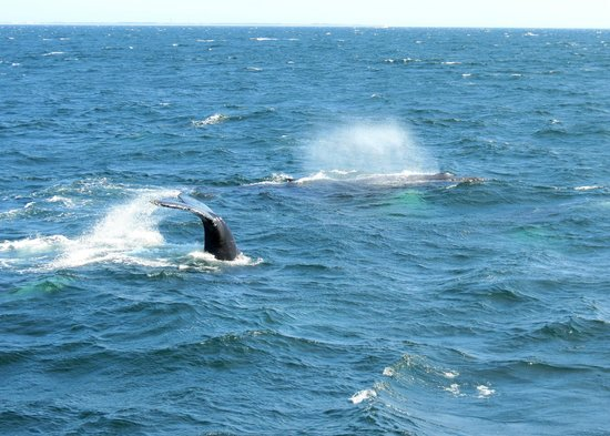 Hyannis Whale Watcher Cruises : A blow and a tail.