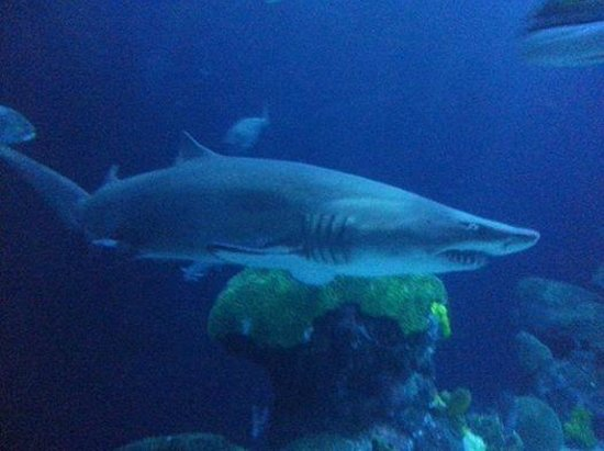 Tennessee Aquarium: SHARK!