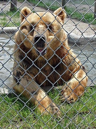 Big Cat Habitat and Gulf Coast Sanctuary : Kodiak bear taking a refreshing dip in his private pool