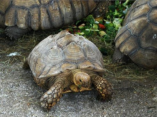 Big Cat Habitat and Gulf Coast Sanctuary : Tortoises having lunch