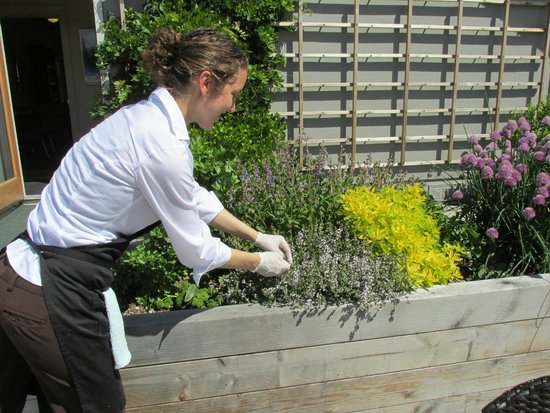 San Juan Island Cheese: Chef Hannah clipping Lemon Tyme from the herb garden.