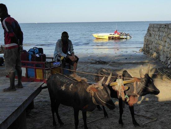 Hotel Safari Vezo Anakao: Zebu cart to take you to the boat