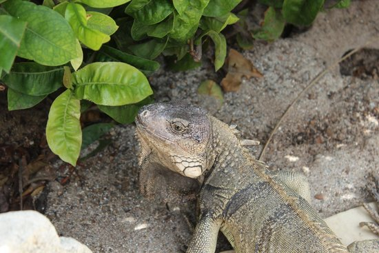 Holiday Inn Resort Aruba - Beach Resort & Casino : Iguanas at the pool area, so beautiful