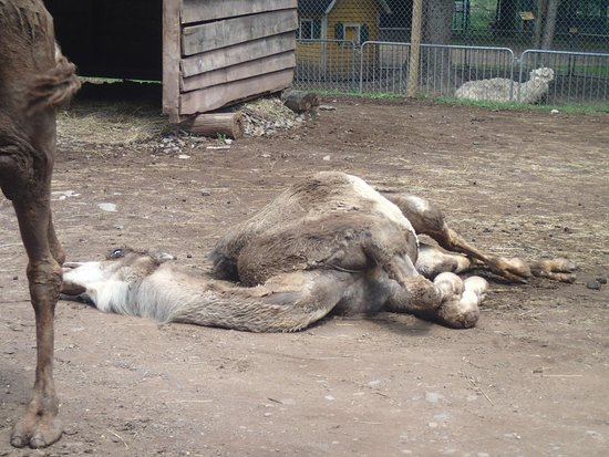 Bailiwick Animal Park : Poor Camel ... NOT NORMAL